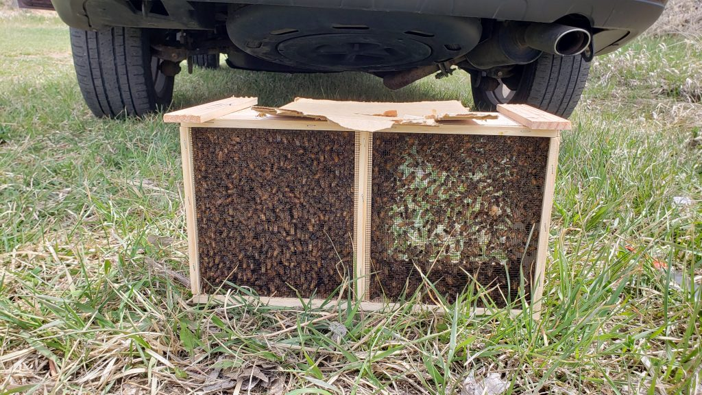Image of a package of bees, on the left side, bees swarm around the queen's enclosure.