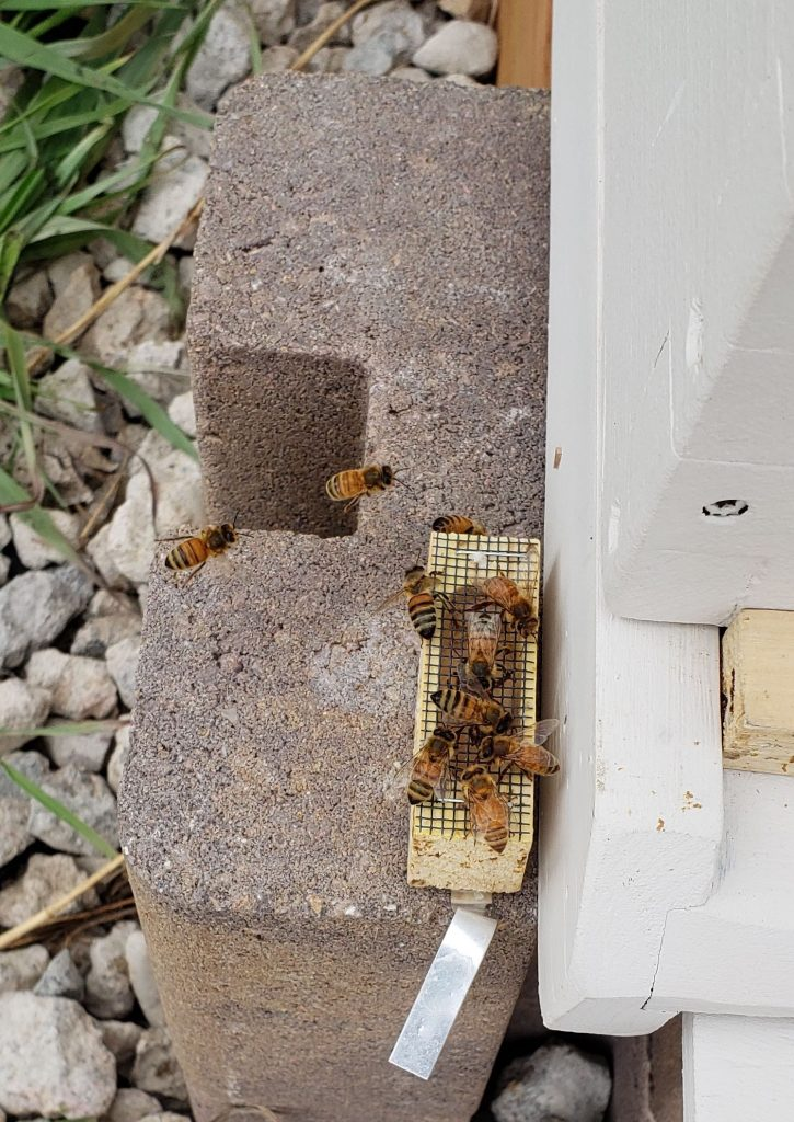 A picture of the queen's enclosure, about a dozen bees surround the outside in an effort to release her from the cage